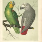 Parrots antique print from The Illustrated Book of Canaries and Cage-Birds - Page 6 Amazon Parrot, Grey Parrot