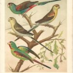 Parakeet and lorikeet antique print The Illustrated Book of Canaries and Cage-Birds - Page 1 Parakeet, Lorikeet