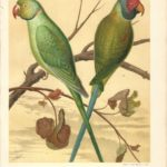 Parakeets antique print The Illustrated Book of Canaries and Cage-Birds - Page 8 Rose Ringed Parakeet, Blossom or Plum-Headed Parakeet