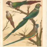 antique print from The Illustrated Book of Canaries and Cage-Birds -White Eared Conure, Malabar Parakeet, Blue-Bonnet Parakeet