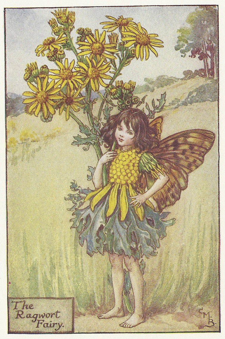 Flowers Ragwort Fairy original old print for sale